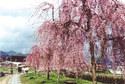 千鳥川桜堤公園