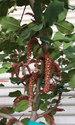 珍しいイナゴ豆の花が咲きました
